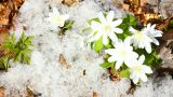 snowdrop flowers and melting snow - timelapse Footage