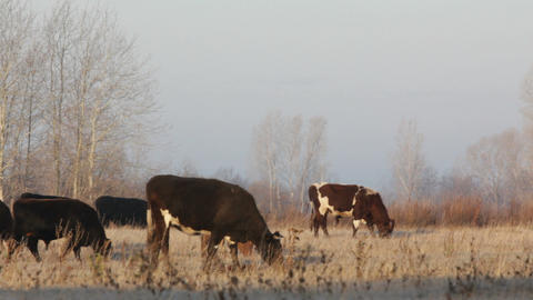 cows on autumn dry pasture - farm scene timelapse Stock Video Footage