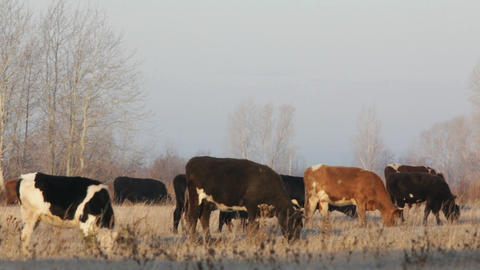 cows on autumn dry pasture - farm scene timelapse Stock Video Footage