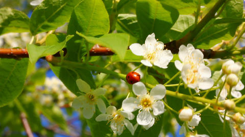 ladybug on cherry tree flowers Stock Video Footage