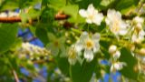 ladybug on cherry tree flowers Footage