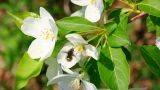 bee pollination and apple tree flowers Footage