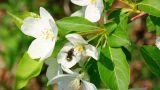 bee pollination and apple tree flowers Footage