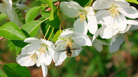 bee pollination and apple tree flowers Stock Video Footage