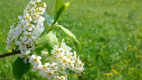blossom bird cherry tree branch Stock Video Footage