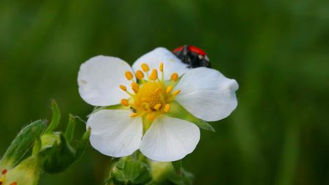 ladybug on wild strawberry flower macro Stock Video Footage