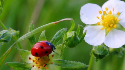 ladybug on wild strawberry flower macro Stock Video Footage