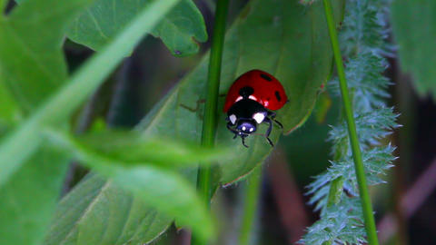 ladybug on green grass macro Stock Video Footage