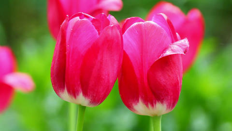 close-up view on bright red tulips Stock Video Footage