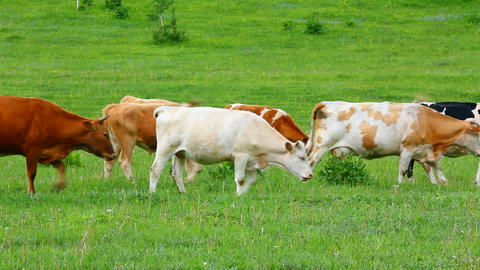 herd of cows on pasture Stock Video Footage