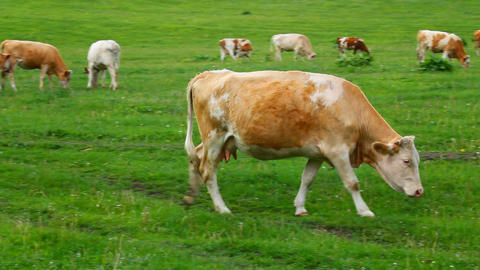 cow on pasture Stock Video Footage