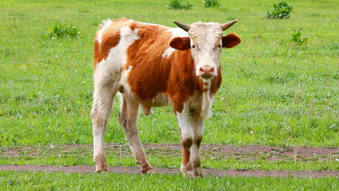 young bull on pasture Stock Video Footage