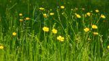 buttercup flowers in summer meadow Footage
