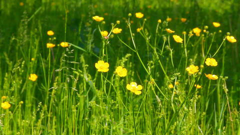 buttercup flowers in summer meadow Stock Video Footage