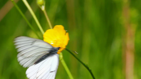 white butterfly on green leaf macro - aporia crata Stock Video Footage