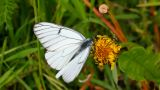 white butterfly on green leaf macro - aporia crata Footage