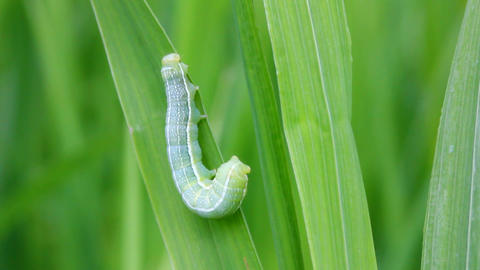 green caterpillar on grass macro Stock Video Footage