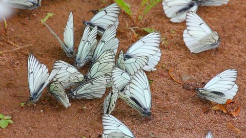 many white butterflies on sand - aporia crataegi Live Action