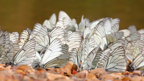 many white butterflies on river beach - aporia cra Stock Video Footage