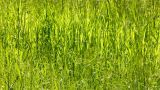 tall green grass background Footage
