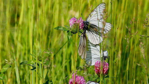 white butterfly on clover flowers - aporia crataeg Stock Video Footage