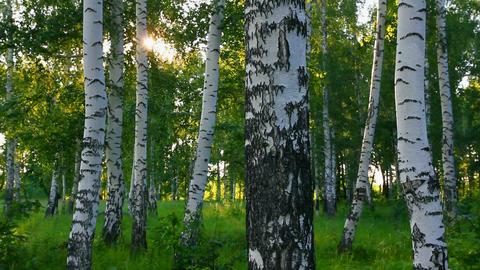 summer birch woods in Russia Stock Video Footage