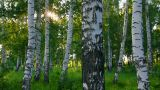 summer birch woods in Russia Footage