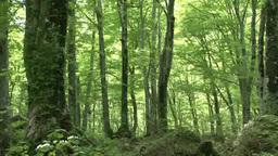 Green beech tree grove, Shirakami-Sanchi Footage
