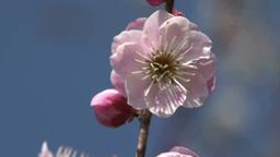 揺れる梅一輪の花 Footage