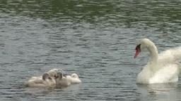 川を泳ぐ白鳥の親と六つ子の雛たち Footage
