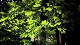 Fresh green beech Footage