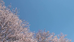 blue sky and oriental cherry Footage