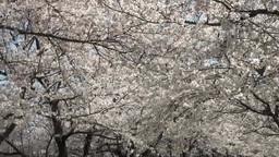 風に揺れる桜並木 Footage