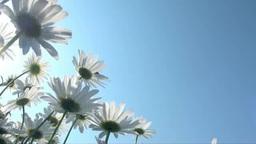 風に揺れるマーガレットの花 Footage