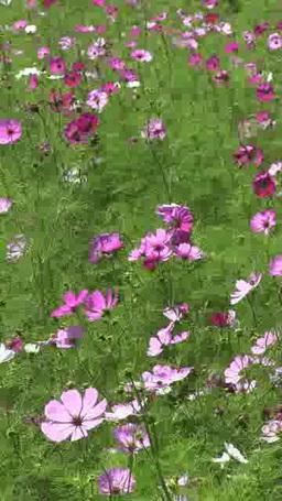 秋風に揺れるコスモスの花々 タテ映像 Footage