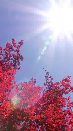 日ざしと秋風にそよぐ紅葉 影片素材