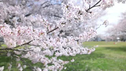 Cherry Footage