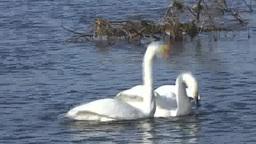 Whooper swan Footage
