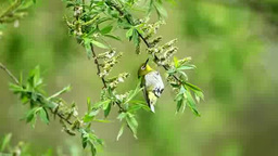 Japanese White-eye Footage