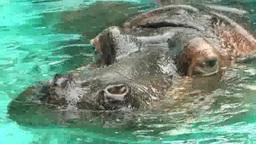 Hippopotamus Footage