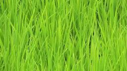 Rice Footage