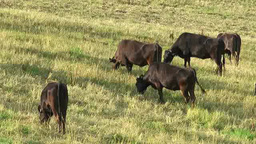 Cattle Footage