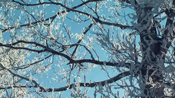 Frost-covered trees Footage