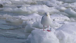 Seagulls and drifting ice Footage