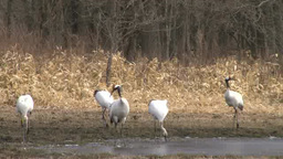 Red-crowned crane Footage