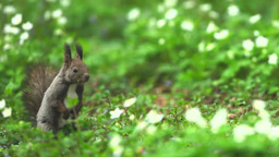 Japanese Hokkaido Squirrel and Anemone flaccida Footage