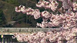 桜と桂川 渡月橋 Footage