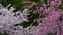 Cherry blossoms and bamboo grove Footage
