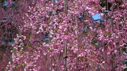 Weeping cherry blossoms in Hirosaki Park Footage