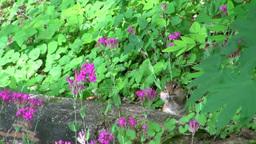 シマリスとムシトリナデシコの花 Footage